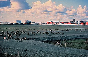 Prudhoe Bay, Alaska - Caribou walk across a gravel pad at Prudhoe Bay, with oilfield facilities in the background.