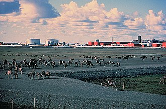 Prudhoe Bay, Alaska - Caribou walk across a gravel pad at Kuparuk, 45 miles away from Prudhoe Bay, with oilfield facilities in the background.