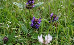 Prunella-vulgaris-flowers.JPG