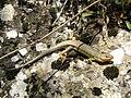Psammodromus algirus. Llagartexa raullarga.jpg