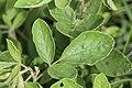 Pseudarthia hookeri (Fabaceae) (4756732853).jpg