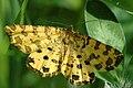 Pseudopanthera.macularia.-.lindsey.jpg