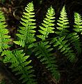 Pteridium aquilinum - leaf.jpg