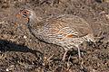Pternistis rufopictus (Serengeti, 2009).jpg