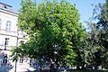 Pterocarya fraxinifolia Zemun 4.jpg