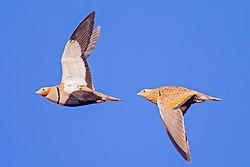 Pterocles orientalis in flight.jpg