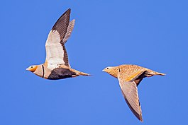 Pterocles orientalis in flight.jpg