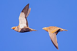 Black-bellied sandgrouse Species of bird
