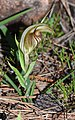 Pterostylis hamiltonii - Red-veined shell orchid (7661366512).jpg
