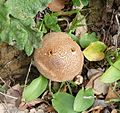 Puff Ball. Lycoperdon sp.(perlatum^) - Flickr - gailhampshire.jpg