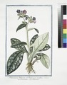 Pulmonaria Italorum, ad Buglossum accedens - Polmonaria - Pulmonaire. (Lungwort) (NYPL b14444147-1125056).tiff