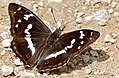 Purple Emperor (Apatura iris) male (34669830464).jpg