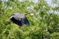 Purple Heron (Ardea purpurea) taking off W IMG 7560.jpg