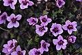 Purple Saxifrage - Saxifraga oppositifolia - panoramio (1).jpg