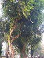 Putranjiva (Gujarati- પુત્રંજીવા) (372127890).jpg