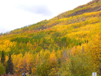 Populus tremuloides - Individual clonal colonies can be discerned during the autumn, as seen on this mountainside in the Matanuska Valley in Alaska.