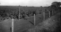 Queensland State Archives 4343 General view of cassava plots Bundaberg c 1930.png