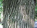 QuercusMacrocarpa.jpg