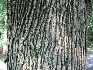 Quercus macrocarpa - Bark of Quercus macrocarpa var. oliviformis