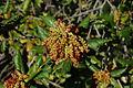 Quercus agrifolia-18.jpg