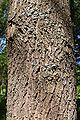 Quercus coccinea bark.JPG