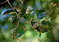 Quercus ilex 02.jpg