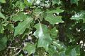 Quercus ilicifolia (23767600969).jpg