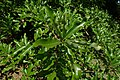 Quercus imbricaria kz02.jpg