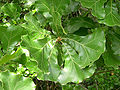 Quercus marilandica Shawnee National Forest 3.jpg