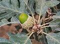 Quercus pyrenaica 20150812e.jpg