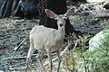 Quizzical deer (2005).jpg