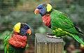 Rainbow Lorikeet Trichoglossus haematodus Philadelphia Zoo 2744px.jpg