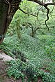 Ramson clad dell west of Mayles Lane - geograph.org.uk - 1287476.jpg