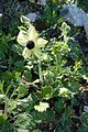 Ranunculus asiaticus kz2.jpg