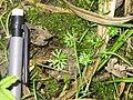Ranunculus gmelinii 3-eheep (5097947622).jpg