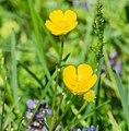 Ranunculus repens in Aveyron (4).jpg