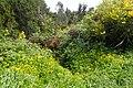 Ranunculus repens kz01.jpg