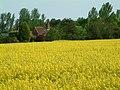 Rape crop, Brentwood - geograph.org.uk - 416061.jpg