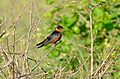 Red-breasted Swallow (Hirundo semirufa) (17252948371).jpg