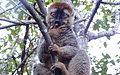 Red-fronted brown lemur 2.JPG