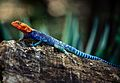 Red-headed Rock Agama (Agama agama) male (7662894222).jpg
