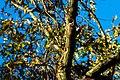 Red-headed woodpecker (38735290041).jpg