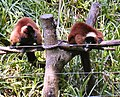 Red-ruffed lemur.jpg