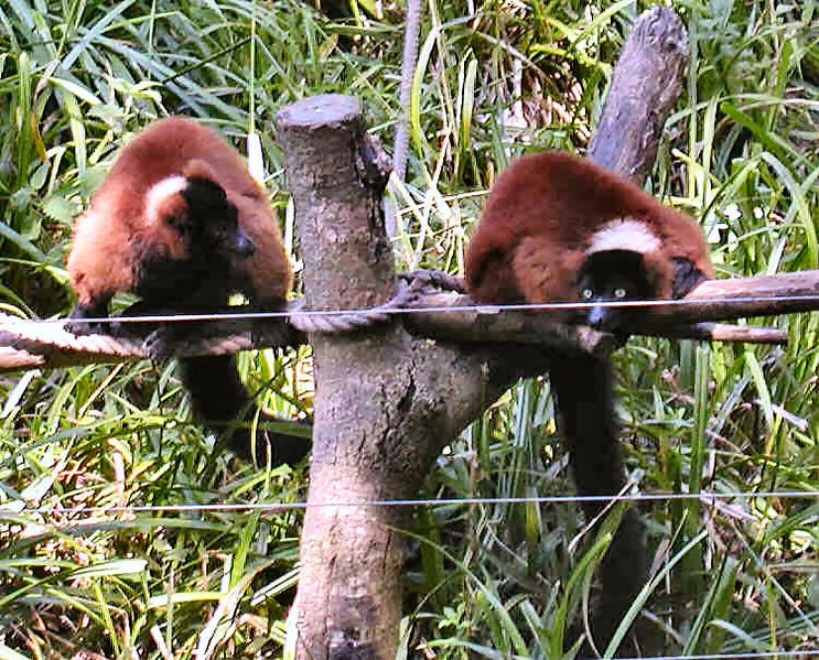 File:Red-ruffed lemur.jpg