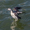 Red-throated loon in Red Hook (64295).jpg