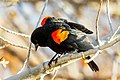 Red-winged Blackbird (Agelaius phoeniceus) (20162861020).jpg