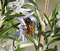 Red Mason Bee. Osmia bicornis male (33987691056).jpg