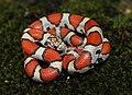 Red Milk Snake (Lampropeltis triangulum syspila) (14521230074).jpg