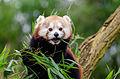 Red Panda (24693138282).jpg