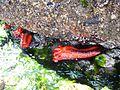 Red Sea Cucumber - Flickr - brewbooks.jpg
